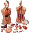 Anatomical World Wide Budget Tall Paul Torso Model