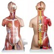 Anatomical World Wide Dual Sex Muscle Torso Anatomy Model, Deluxe, 31 Parts