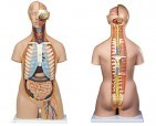 Anatomical World Wide Classic Unisex Torso With Open Back Anatomy Model - 21 Part